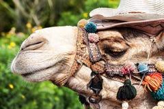 Una cara seria de un camello en el lado Imagen de archivo libre de regalías