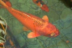 Una carpa anaranjada imagen de archivo