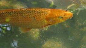 Una carpa de oro nada y abre su boca en una superficie del lago almacen de metraje de vídeo