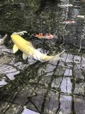 una carpa del pesce Immagine Stock