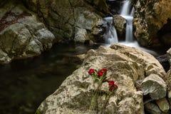 Una cascata nel parco di stato del forno a calce, Big Sur con le rose rosse nella priorità alta disposta su roccia davanti alla  fotografia stock