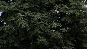 Una castaña verde grande con las nueces de punta en un tiempo lluvioso en verano metrajes