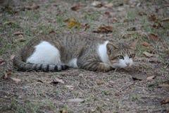 Una Cat Squat And Gaze smarrita adorabile fotografia stock libera da diritti