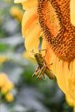 Una cavalletta su un girasole di fioritura, diaspro, Georgia, U.S.A. fotografia stock libera da diritti