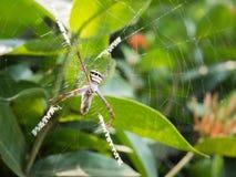 Una caza de la araña en el web Fotografía de archivo libre de regalías
