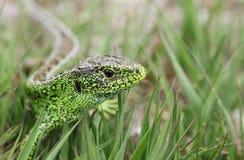 Una caza masculina hermosa de Agilis del Lacerta del lagarto de arena en la maleza para la comida Foto de archivo