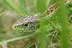 Una caza masculina hermosa de Agilis del Lacerta del lagarto de arena en la maleza para la comida Imagenes de archivo