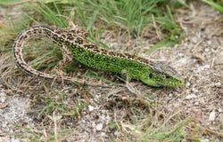 Una caza masculina hermosa de Agilis del Lacerta del lagarto de arena en la maleza para la comida Fotos de archivo