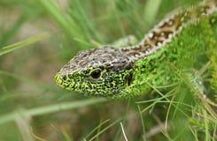 Una caza masculina hermosa de Agilis del Lacerta del lagarto de arena en la maleza para la comida Imagen de archivo