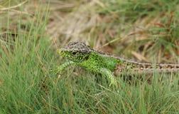 Una caza masculina hermosa de Agilis del Lacerta del lagarto de arena en la maleza para la comida Foto de archivo libre de regalías