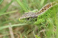 Una caza masculina hermosa de Agilis del Lacerta del lagarto de arena en la maleza para la comida Imagen de archivo libre de regalías