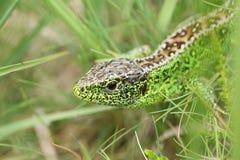 Una caza masculina hermosa de Agilis del Lacerta del lagarto de arena en la maleza para la comida Imágenes de archivo libres de regalías