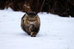 Una caza noruega joven bonita de Forest Cat en la nieve imágenes de archivo libres de regalías