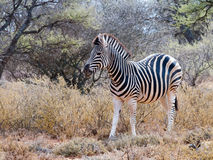 Una cebra alimenta adentro un remiendo herboso seco en el parque nacional de Mokala en Suráfrica Fotos de archivo