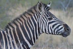 Una cebra linda con la melena grande en el parque nacional de Kruger imagen de archivo libre de regalías