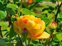Una celebrazione dorata fiorita Austin è aumentato immagini stock libere da diritti