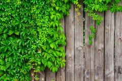 Una cerca hecha de la madera con la hiedra rizada de las uvas salvajes Imágenes de archivo libres de regalías