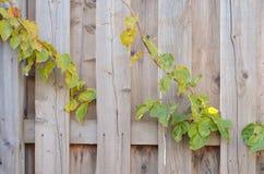 Una cerca hecha de viejos tableros de madera, de colores brillantes, y de las plantas de la cerca parcialmente, un fondo agradabl Foto de archivo libre de regalías