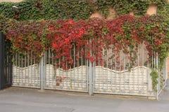 Una cerca torcida con las uvas salvajes Imágenes de archivo libres de regalías