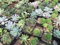 Una certa vendita robusta e convenzionale dei succulenti Fotografie Stock