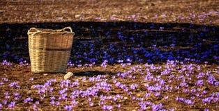 Una cesta de mimbre en un campo del azafrán en el tiempo de cosecha Fotos de archivo libres de regalías