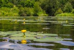Una charca con las porciones de lirios de agua amarilla Imagenes de archivo