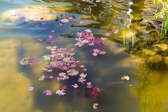 Una charca con los lirios que crecen en el agua foto de archivo