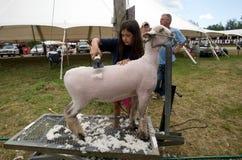 Una chica joven pela una oveja Imagen de archivo