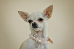 Una chihuahua con las perlas Foto de archivo