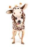 Una chihuahua linda en un traje de la jirafa Imagen de archivo