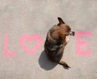 Una chihuahua linda que se sienta en el amor de la palabra en una acera Fotos de archivo libres de regalías