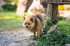 Una chihuahua sveglia che urina sulla tavola di legno in giardino domestico chihuahua di urina in parco su asfalto del cane, immagine stock libera da diritti