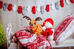Una chihuahua sveglia in un costume della renna con i grandi occhi Immagine Stock