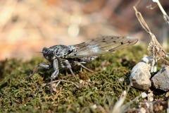 Una cicala in foresta fotografia stock