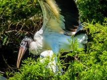 Una cicogna alla colonia di corvi Fotografie Stock Libere da Diritti