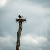 Una cicogna bianca nel nido Fotografie Stock