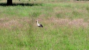Una cicogna bianca su un prato nella foresta della baldoria archivi video