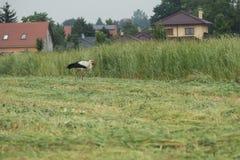 Una cicogna commovente Fotografie Stock