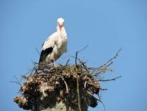 Una cicogna di sonno nel nido l'Alsazia Fotografia Stock