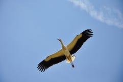 Una cicogna di volo Fotografie Stock Libere da Diritti
