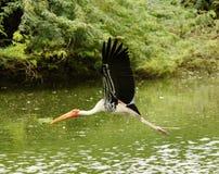 Una cicogna dipinta volo Fotografia Stock Libera da Diritti