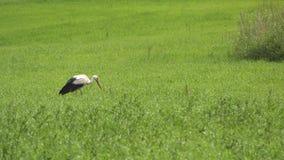 Una cicogna sta camminando lungo l'erba verde stock footage
