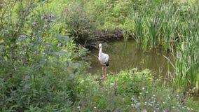 Una cicogna sta in uno stagno sui precedenti di erba e delle canne Estate, fauna selvatica video d archivio