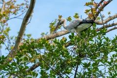 Una cigüeña asiática del openbill está cogiendo una rama secada de un árbol foto de archivo