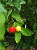 Una ciliegia fresca di due colori immagine stock libera da diritti