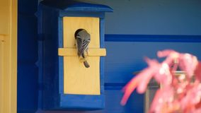 Una cinciallegra alimenta i suoi giovani uccelli stock footage