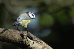 Una cinciarella adulta (caeruleus del Parus) che si appollaia su un ramo di albero. Fotografia Stock Libera da Diritti