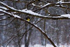 Una cinciarella messa le piume a giallo su un albero Fotografie Stock