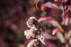 Una coccinella che si siede su una pianta rossa bianca Grande fondo confuso schioccare, colourful, adorabile, insetto; immagine stock libera da diritti