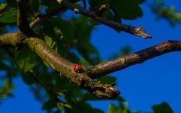 Una coccinella su un ramo di albero Immagini Stock Libere da Diritti